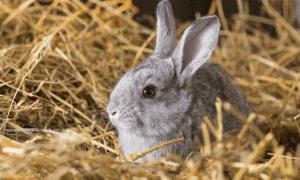 Can A Neutered Rabbit Still Spray? Explained