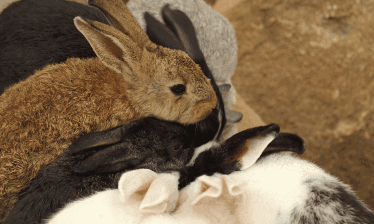 Here's Why Rabbits Smells Each Other's Bum?