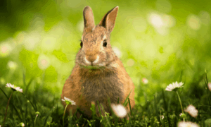 Can Rabbits And Hares Breed? What are the Differences