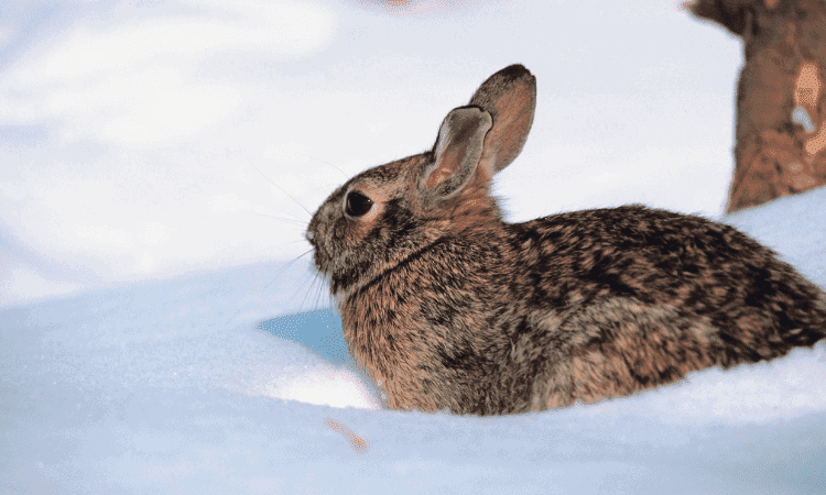 Can Rabbits Go Out In The Snow? Here's the Answer