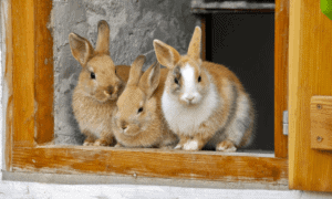 Do Rabbits Know And Recognize Their Siblings_