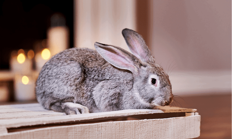 The 6 Easiest Rabbit Breeds To Take Care Of