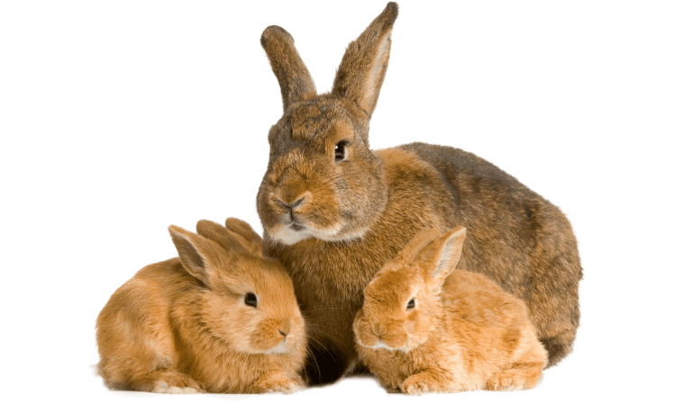 How To Bond Baby Rabbit To Older Rabbit? 5 Easy Steps