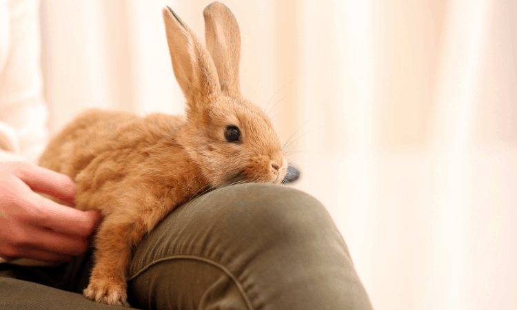 How To Train A Rabbit To Jump On Your Lap?