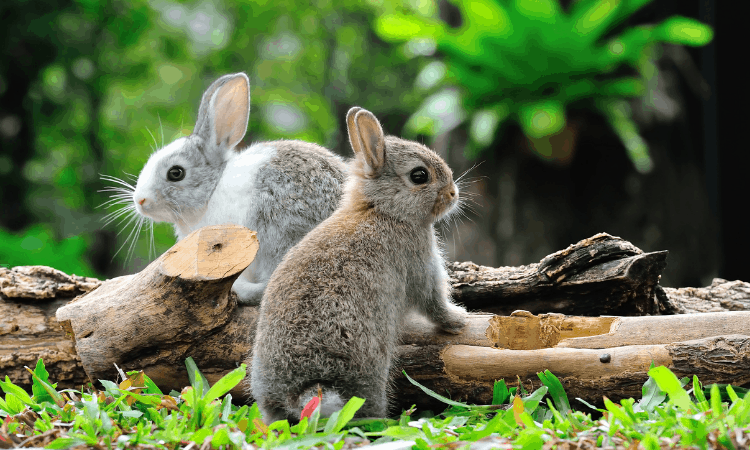 Can Rabbits Mate with Siblings? Is it Safe?