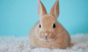 Rabbit Growling: What It Means & What to Do