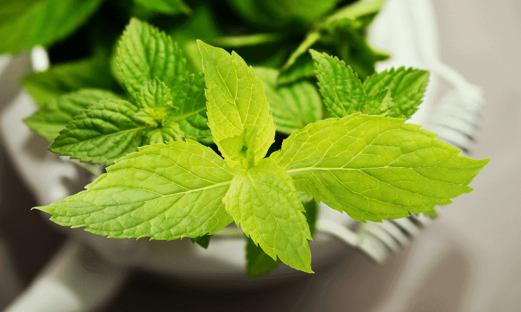 Can Rabbits Eat Mint Leaves? (Including Flowers & Stems)