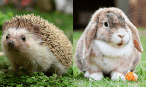 Rabbit Vs. Hedgehog: Which Is the Ideal Pet for You?